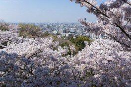枡形山展望台からの風景 生田緑地の桜 画像(2/5)