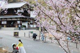 例年3月中旬に見ごろを迎える東口のコヒガンザクラ 生田緑地の桜 画像(3/5)