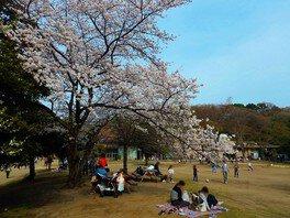 中央広場は本数は少ないが桜の時期になると人気のスポット 生田緑地の桜 画像(4/5)