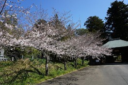 西蓮寺の桜 画像(3/5)