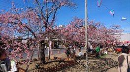 白子温泉の桜 画像(2/3)