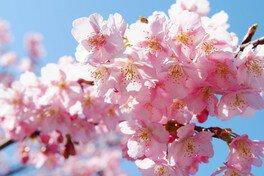 白子温泉の桜 画像(3/3)