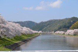 三刀屋川河川敷の桜 画像(3/3)