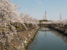 平和市民公園の桜 画像(2/2)