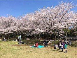 青葉の森公園の桜 画像(2/5)