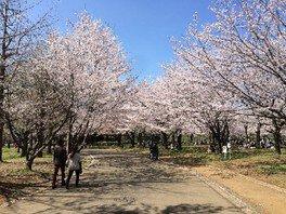 青葉の森公園の桜 画像(3/5)