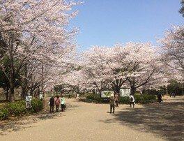 青葉の森公園の桜 画像(4/5)