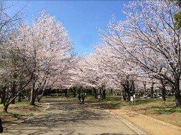 青葉の森公園の桜 画像(5/5)