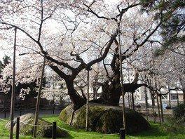 石割桜 画像(2/2)