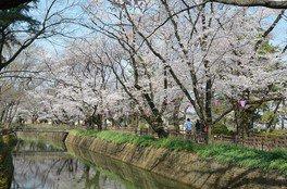 城之内公園の桜 画像(2/2)