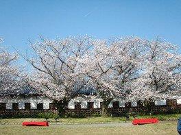 舞鶴公園の桜 画像(2/3)