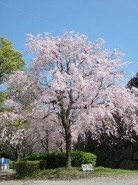 舞鶴公園の桜 画像(3/3)