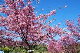 河津桜と彼岸桜