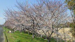 青春ドラマのワンシーンが撮れそうな桜並木
