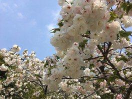 サクラの園には様々な種類のサクラが植えられている