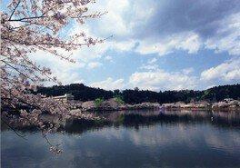 八鶴湖畔の桜 画像(3/5)