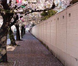 桜の花が歩道にトンネルを作る