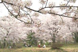 御所の台ふれあいパークの桜 画像(3/4)