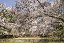 特別史跡旧閑谷学校の桜 画像(3/3)
