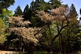 磐椅神社 大鹿桜 画像(2/3)