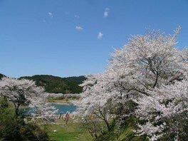 七川ダム湖畔の桜 画像(2/3)