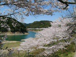 七川ダム湖畔の桜 画像(3/3)