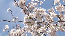 日本三大桜のひとつ「滝桜」の子孫樹を赤坂で鑑賞