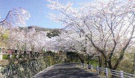 西部公園の桜 画像(3/3)