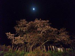 かすみ温泉のかすみ桜 画像(2/2)