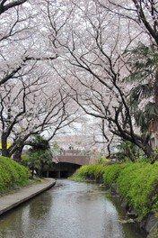二ヶ領用水宿河原の桜 画像(2/4)