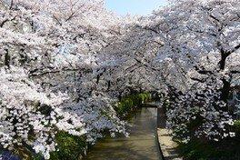 二ヶ領用水宿河原の桜 画像(3/4)