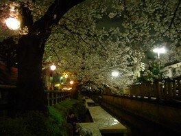二ヶ領用水宿河原の桜 画像(4/4)