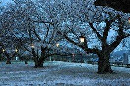 鳥取城跡・久松公園の桜 画像(2/3)
