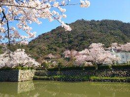 鳥取城跡・久松公園の桜 画像(3/3)