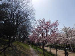 天保山ハーバービレッジの観覧車と桜の共演