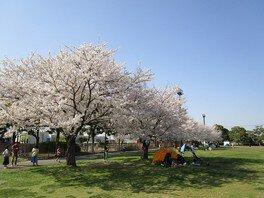 羽生水郷公園の桜 画像(2/3)