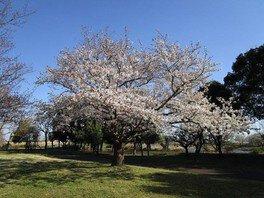 羽生水郷公園の桜 画像(3/3)