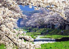 観音寺川の桜並木 画像(2/4)