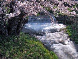 観音寺川の桜並木 画像(3/4)