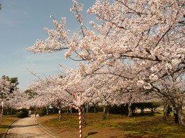 湊山公園の桜 画像(2/2)