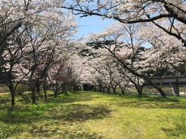 家地川公園の桜 画像(2/5)