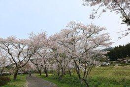 家地川公園の桜 画像(3/5)