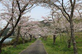 家地川公園の桜 画像(4/5)