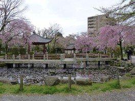 岐阜公園長良川堤の桜 画像(4/4)