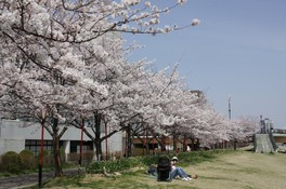 信濃川やすらぎ堤緑地の桜 画像(2/2)