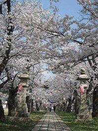 悠久山公園の桜 画像(3/3)