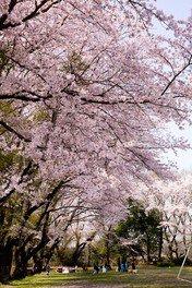 水海道あすなろの里の桜 画像(2/2)