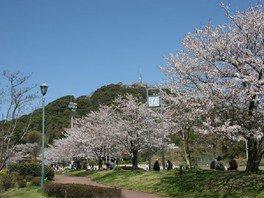 日の隈公園の桜 画像(2/3)