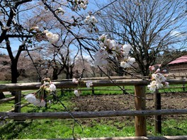 小岩井農場の桜 画像(2/3)