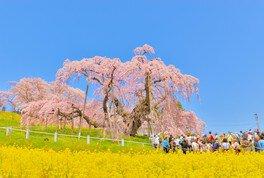 三春滝桜 画像(3/4)